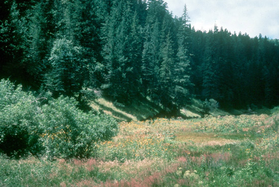 Montane Forest in the Sacramento Mountains